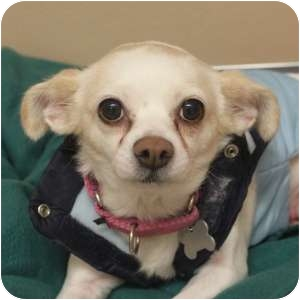 Chihuahua Mix Dog for adoption in Naperville, Illinois - Cookie