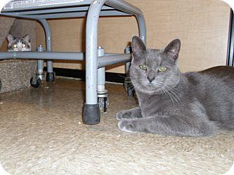 Domestic Shorthair Cat for adoption in Worcester, Massachusetts - Douglas