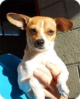 Chihuahua Mix Dog for adoption in El Segundo, California - Moe