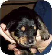Labrador Retriever/Rottweiler Mix Puppy for adoption in Blackstone, Virginia - Christian ADOPTION PENDING