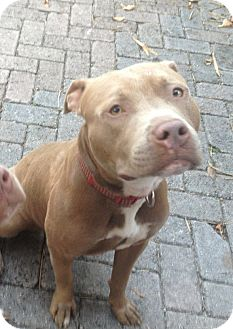 American Staffordshire Terrier Dog for adoption in Miami, Florida - Rudy
