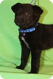 Border Collie/Collie Mix Puppy for adoption in Broomfield, Colorado - Kramer
