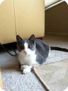 Domestic Shorthair Cat for adoption in Cincinnati, Ohio - Sam