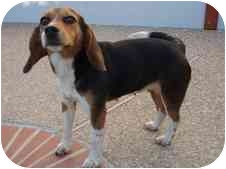Beagle Dog for adoption in Elk Grove, California - Bubbles