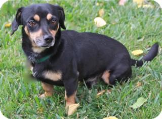 Dachshund Mix Dog for adoption in Norwalk, Connecticut - Jerome