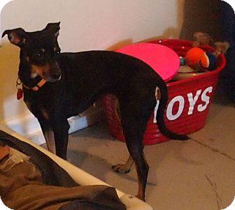 Chihuahua/Miniature Pinscher Mix Dog for adoption in Prole, Iowa - Bubbles