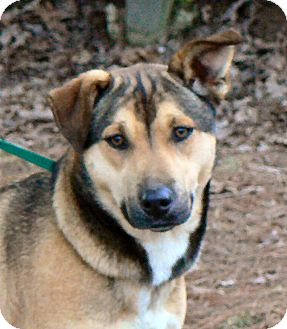Shepherd (Unknown Type) Mix Dog for adoption in Centerville, Tennessee - Carmen