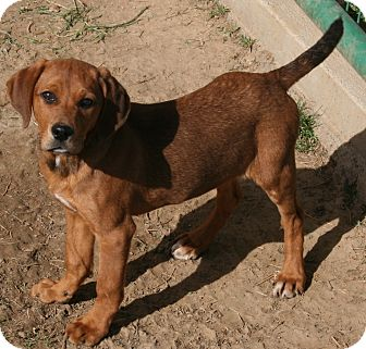 Hound (Unknown Type) Mix Puppy for adoption in Pilot Point, Texas - NUGGET