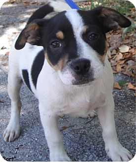 Terrier (Unknown Type, Medium) Mix Puppy for adoption in Key Largo, Florida - Bart