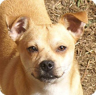 Pug Mix Dog for adoption in Staunton, Virginia - Sonic