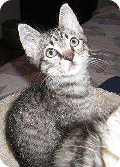 Domestic Shorthair Kitten for adoption in HILLSBORO, Oregon - Zippity