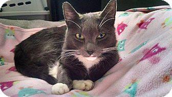 Domestic Shorthair Cat for adoption in Acushnet, Massachusetts - Liara