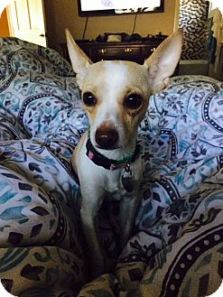 Chihuahua Dog for adoption in Chicago, Illinois - Jessie