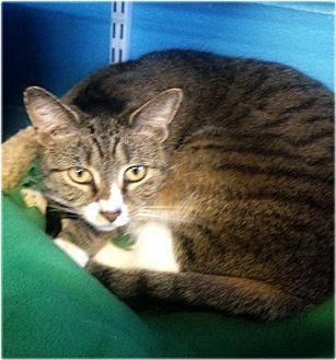 Domestic Shorthair Cat for adoption in Huntington, New York - Hope