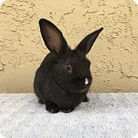 Adopt A Pet :: Wok - Bonita, CA