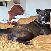 Shepherd (Unknown Type)/Labrador Retriever Mix Dog for adoption in Albany, North Carolina - Dolly