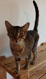 Domestic Shorthair Cat for adoption in Speedway, Indiana - Alex
