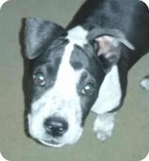 Pointer/American Staffordshire Terrier Mix Puppy for adoption in San Clemente, California - Teagan
