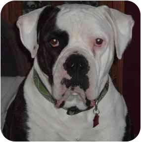 American Bulldog Mix Dog for adoption in Baltimore, Maryland - Modo