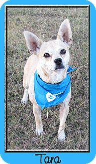 Dachshund/Corgi Mix Dog for adoption in Hillsboro, Texas - Tara