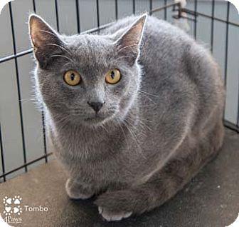 Russian Blue Kitten for adoption in Merrifield, Virginia - Tombo