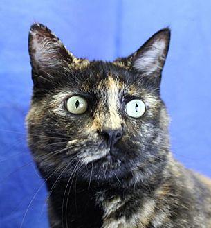 Domestic Shorthair Cat for adoption in Winston-Salem, North Carolina - Yonah