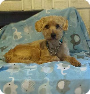 Terrier (Unknown Type, Medium)/Poodle (Miniature) Mix Dog for adoption in Akron, Ohio - Brando PENDING ADOPTION