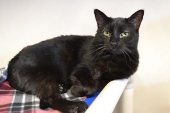 Domestic Shorthair/Domestic Shorthair Mix Cat for adoption in Elkhorn, Wisconsin - Hadley