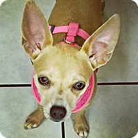 Adopt A Pet :: Mila is just a yr old! - Redondo Beach, CA
