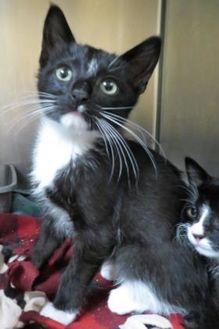Domestic Shorthair/Domestic Shorthair Mix Cat for adoption in Menomonie, Wisconsin - Terrance