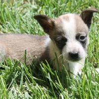 Adopt A Pet :: Female 3 - Paso Robles, CA