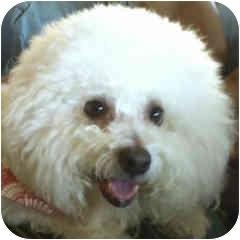 Bichon Frise Dog for adoption in La Costa, California - Dillon