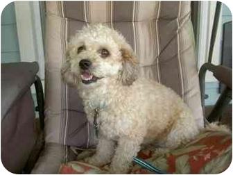 Cockapoo Dog for adoption in Sugarland, Texas - Lulu