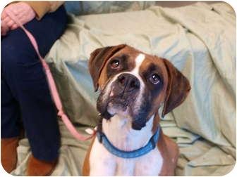 Boxer Dog for adoption in Reno, Nevada - Flashy