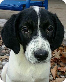 Spaniel (Unknown Type) Mix Puppy for adoption in Kalamazoo, Michigan - Olita