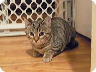 Domestic Mediumhair Kitten for adoption in Island Park, New York - Dee