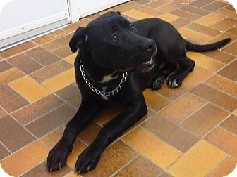 Labrador Retriever/American Pit Bull Terrier Mix Dog for adoption in Montreal, Quebec - Luka