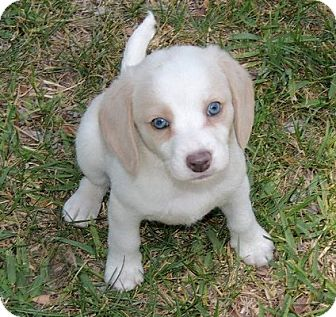 Cocker Spaniel/Beagle Mix Puppy for adoption in La Habra Heights, California - Taylor