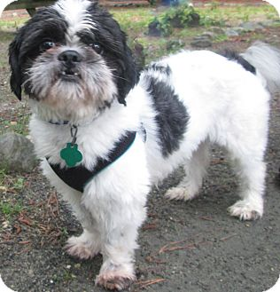 Shih Tzu Dog for adoption in Forked River, New Jersey - Holmes