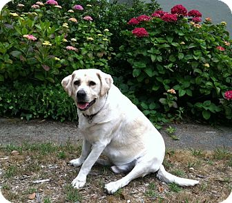 Labrador Retriever Dog for adoption in San Francisco, California - Brady