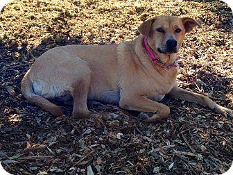 Labrador Retriever Mix Dog for adoption in Long Beach, California - Chloe