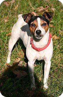 Rat Terrier Mix Dog for adoption in Carmel, Indiana - Tillie
