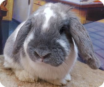 Lop, Holland Mix for adoption in Foster, Rhode Island - Spencer