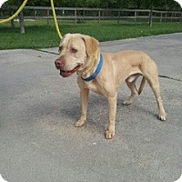 Labrador Retriever/Pit Bull Terrier Mix Dog for adoption in Houston, Texas - Tommy (courtesy post)
