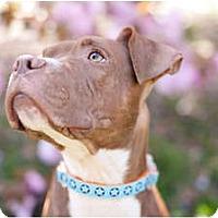 Adopt A Pet :: Roxxie - Reisterstown, MD
