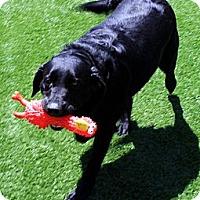 Adopt A Pet :: Shasta - Santa Ana, CA