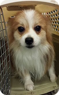 Pomeranian Dog for adoption in Alexis, North Carolina - Bubby