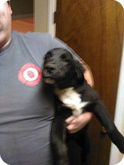 Plott Hound Mix Puppy for adoption in Buchanan Dam, Texas - baby girl