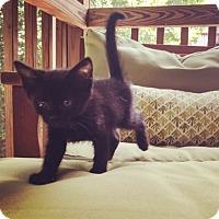 Adopt A Pet :: Gilbert - Raleigh, NC