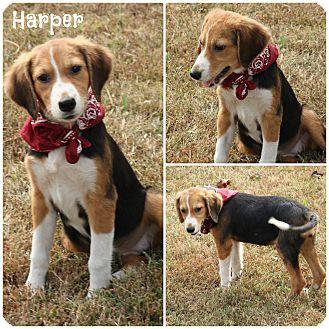 Beagle/Labrador Retriever Mix Puppy for adoption in Brattleboro, Vermont - Harper